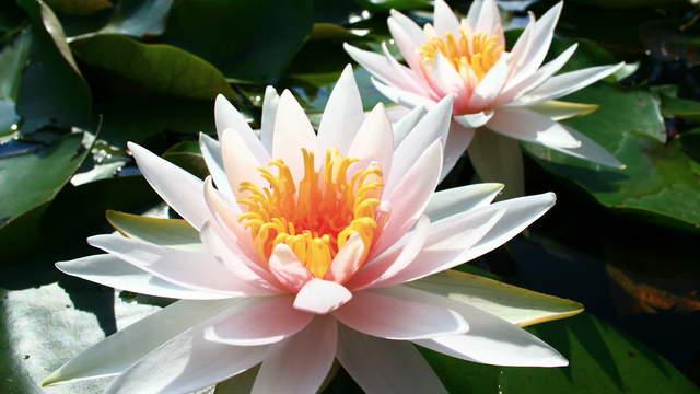 Super Zeitraffer-Video - Seerosen Blüte | 384 | Pflanzen und Blüten @HG_12