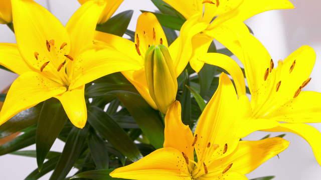 zeitraffer video gelbe lilien bl te 4k zoom zeitraffer 1238 pflanzen und bl ten. Black Bedroom Furniture Sets. Home Design Ideas